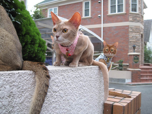Abyssinian Sisters, #3559