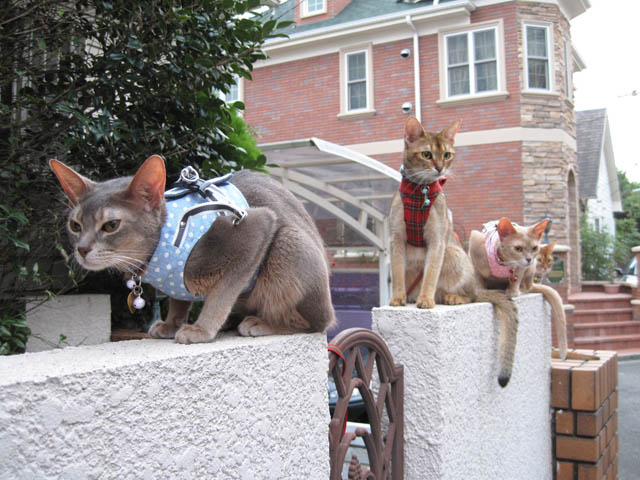 Abyssinian Sisters, #3560