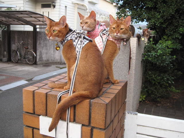 Abyssinian Sisters, #3563