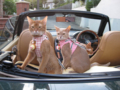 Abyssinian Sisters, #3786