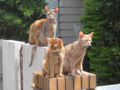 Abyssinian Sisters, #3174