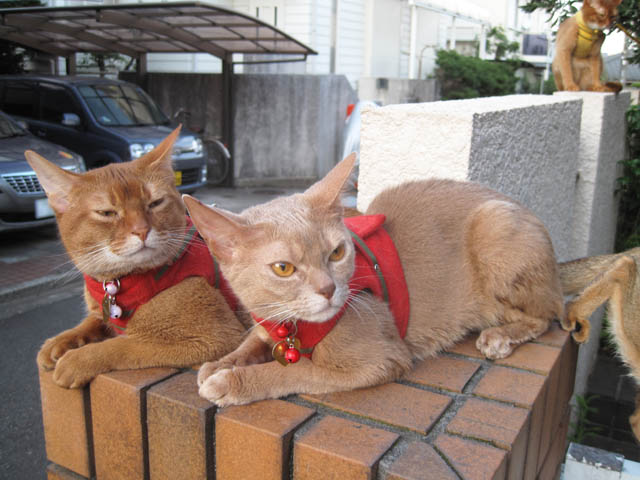 Abyssinian Sisters, #3345