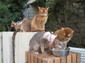 Abyssinian Sisters, #6546
