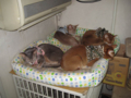 Abyssinian Sisters, #8624