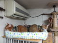 Abyssinian Sisters, #0064