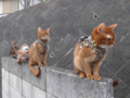 Abyssinian Sisters, #0338