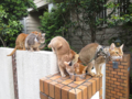 Abyssinian Sisters, #0648