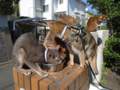 Abyssinian Sisters, #0532