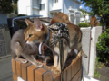 Abyssinian Sisters, #0533