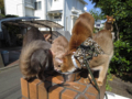 Abyssinian Sisters, #0534