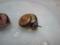 Snail, #A215
