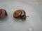 Snail, #A216
