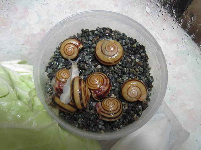 Snail, #A241