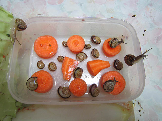 Snail, #A515
