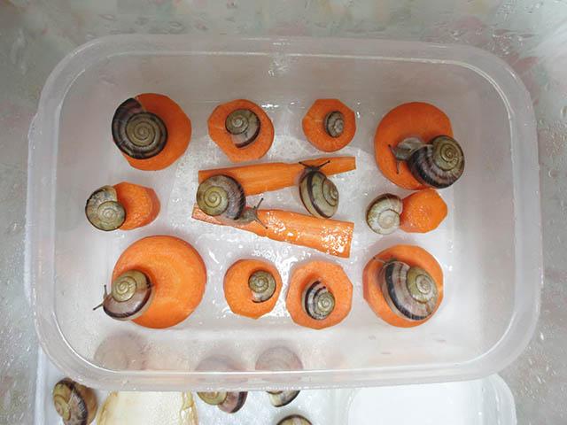 Snail, #0981