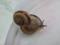 Snail, #1513 (Closeup)