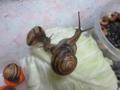 Snail, #2509