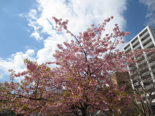 Cherry Blossoms, #5066