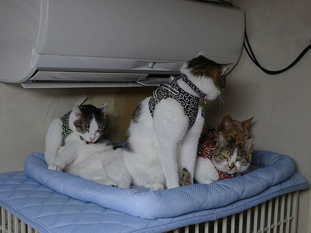 Caterina, Umi, Hana & Koumi, #2596