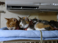 Beatrice, Margherita, Umi, Hana & Koumi, #2661