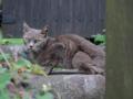 Local Cat, #1100