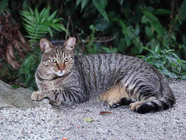 Cats of Houtong, #4662