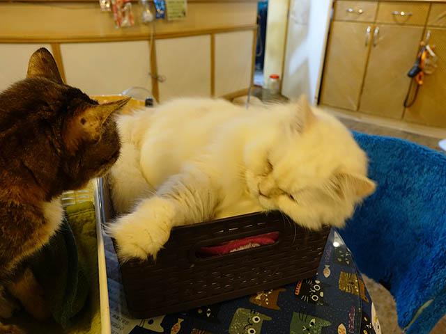 Cats of Xiao Mao Hua Yuan, #7004