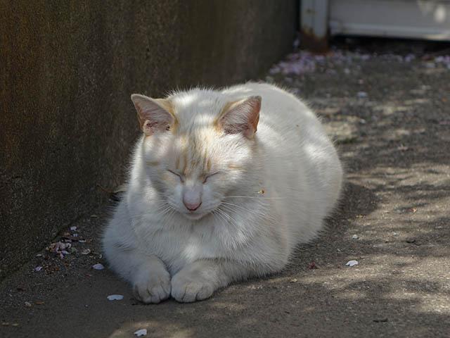 白峯寺の猫, #8057