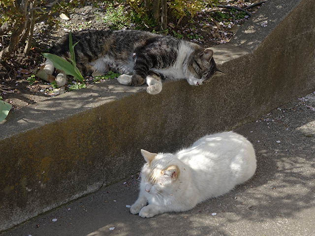 白峯寺の猫, #8061