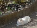 白峯寺の猫, #8062