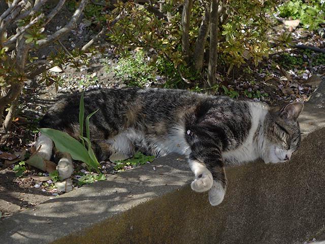 白峯寺の猫, #8064