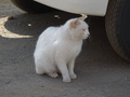白峯寺の猫, #8074