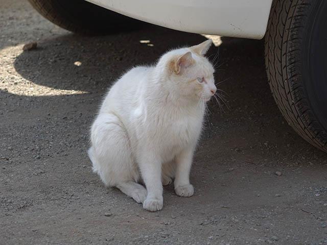 白峯寺の猫, #8075