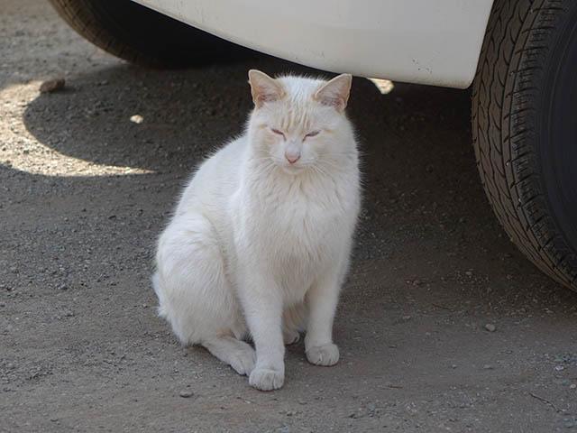 白峯寺の猫, #8076