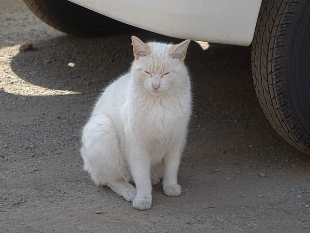 白峯寺の猫, #8077
