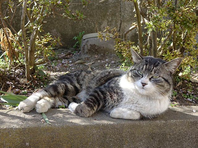 白峯寺の猫, #8080