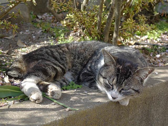 白峯寺の猫, #8083
