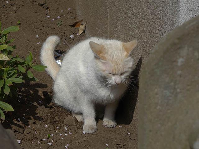 白峯寺の猫, #8091