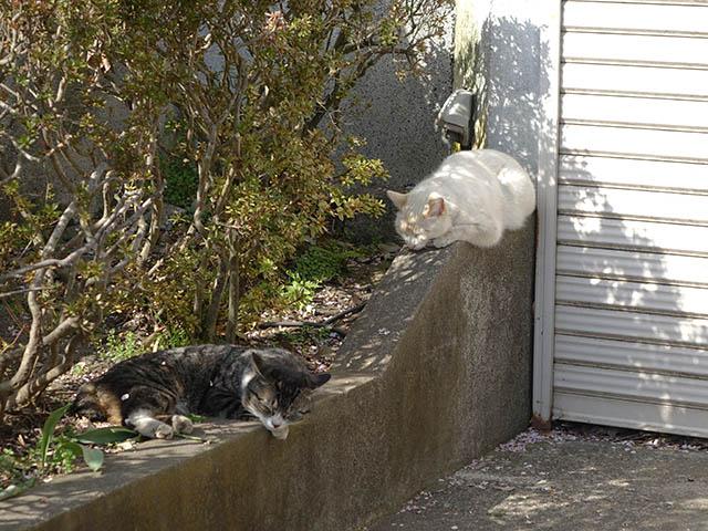 白峯寺の猫, #8093