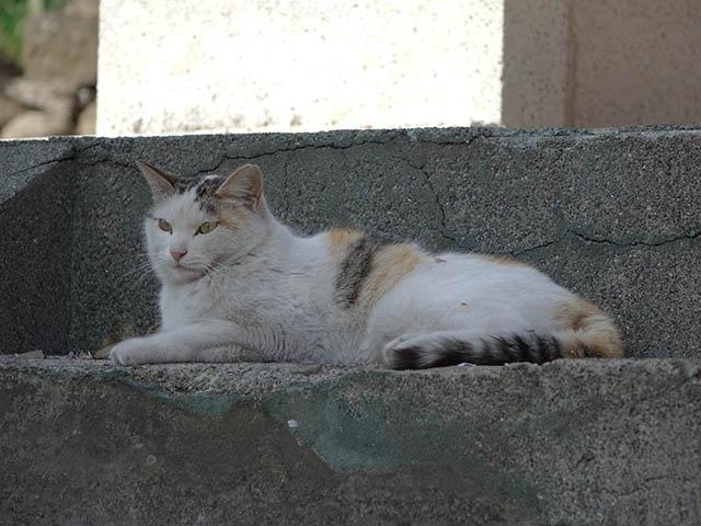 白峯寺の猫, #8099