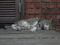 Cats of Houtong, #8239