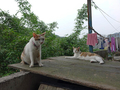 Cats of Houtong, #8762