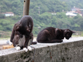 Cats of Houtong, #9012
