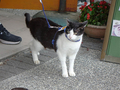 Cats of Houtong, Cat Lai 231, #9581