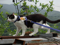 Cats of Houtong, Cat Lai 231, #9604