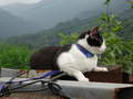 Cats of Houtong, Cat Lai 231, #9605