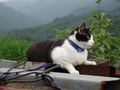 Cats of Houtong, Cat Lai 231, #9606