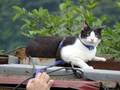 Cats of Houtong, Cat Lai 231, #9608