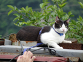 Cats of Houtong, Cat Lai 231, #9609