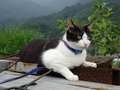 Cats of Houtong, Cat Lai 231, #9610